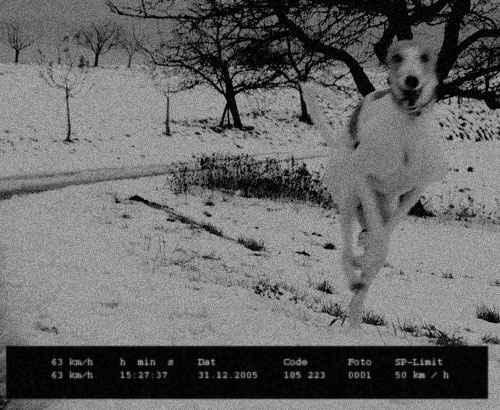Blitzschneller Windhund - Greyhound in Radarfalle