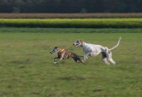 Wie Schnell Ist Ein Windhund