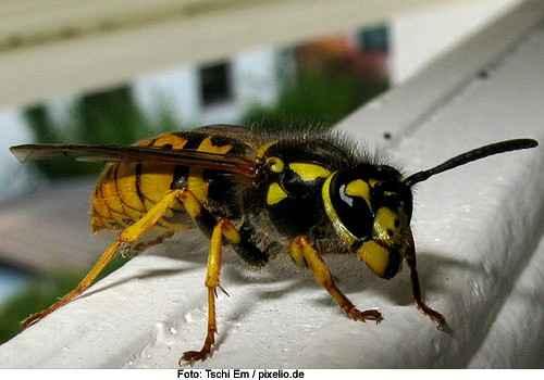 Gefahr für Hunde: Wespen