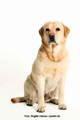 Blonder Labrador