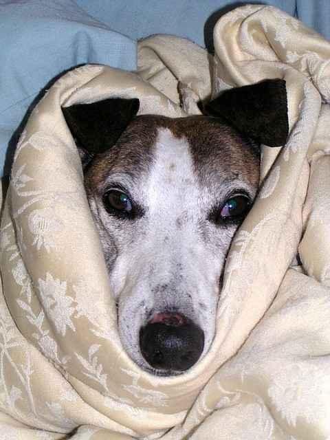 Kranker Hund - hier mit leicht vorgezogener Nickhaut